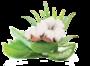 Aloe vera a kvet bavlníka